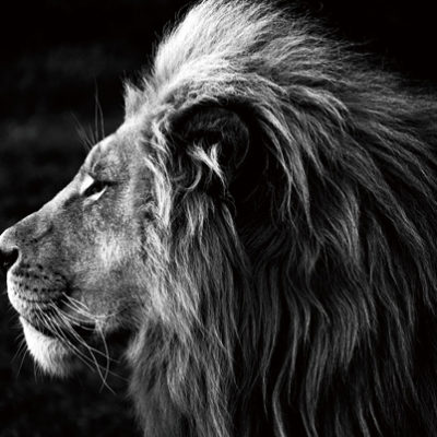 tableau-lion-verre-photo-noir-blanc-tableau-peinture-bois&deco-meubles-gibaud.