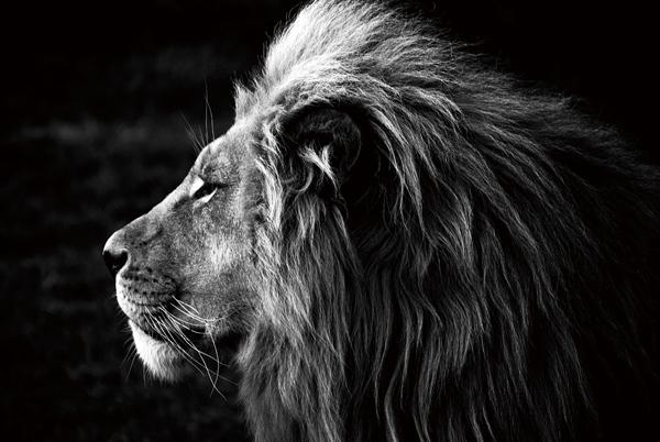 tableau sous verre imageland lion noir et blanc